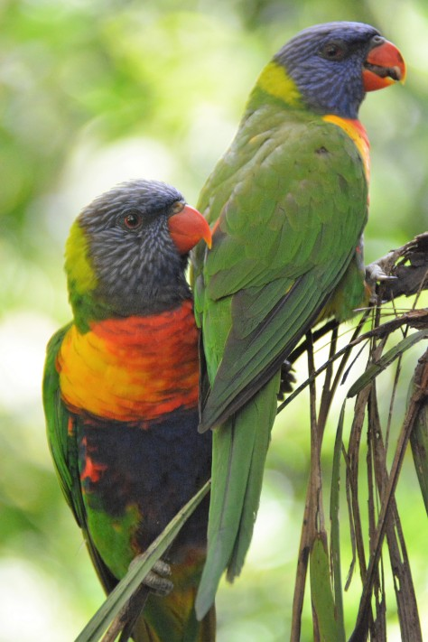 lorikeet pair (3).JPG