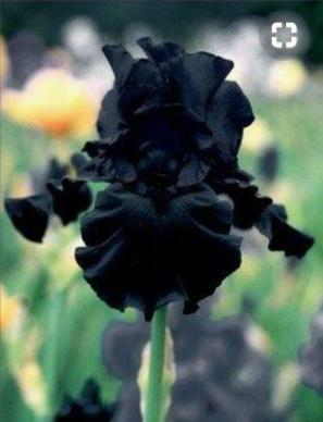 Black Bearded Iris